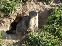Mont Cenis - une marmotte